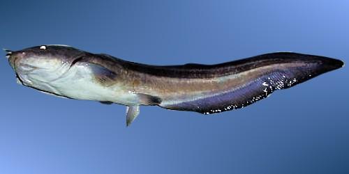 鼻子上有刺的鱼-坑 鰜   可用红青二虫、虾肉.   钓饵:   西贡、南丫、东龙岛   出现地区
