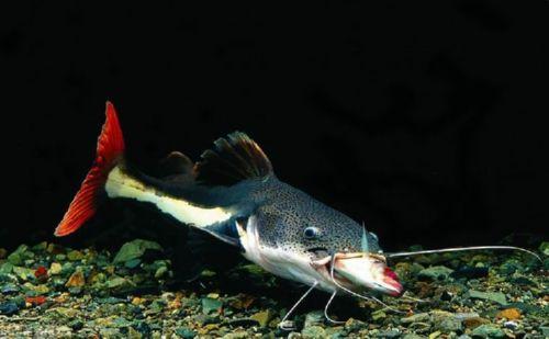 红尾鲶; 淡水观赏鱼x档案--鲶鱼类; 【观赏鱼鲶鱼种类】