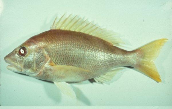 朋友釣到的罕見魚種 葉唇笛鯛 主要棲息於岩石底質之大陸棚水域,深度在90-340公尺間。以魚類及大型甲殼類為食物。 分布於印度-西太平洋區,東起阿拉伯海,西至萬那杜共和國,北自琉球群島,南迄澳洲北部。台灣產於南部海域,是罕見魚種。