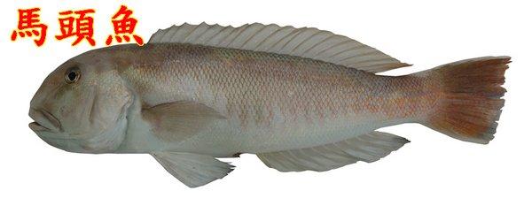 這兩種魚外型的確有些相似,但是不同種類的。 藍豬齒魚,Choerodon azurio,隆頭魚科,俗稱寒鯛,石老,主要棲息於岩岸礁區,水深約 7-80 公呎的海域。以底棲性生物為主食,由於有著二對尖銳犬齒,所以可以輕易咬碎厚厚外殼的貝類及甲殼類等。它們白天覓食,夜晚藏身於隱密的岩蔭或岩穴之中。 斑鰭馬頭魚,Branchiostegus albus,弱棘魚科,俗稱馬頭魚,主要棲息於砂泥質海底,深度約在水深 100 公呎以內,為肉食性之魚種,以小魚、蝦等為食。