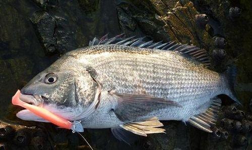 壁纸 动物 鱼 鱼类 500_297